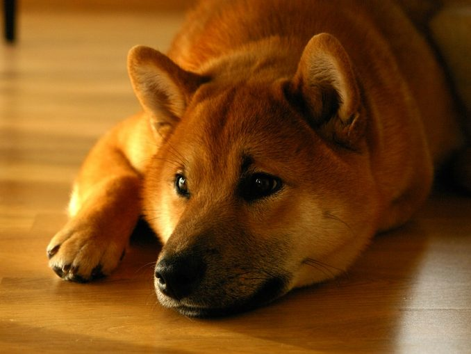 How to Teach Your Dog to Lay Down?